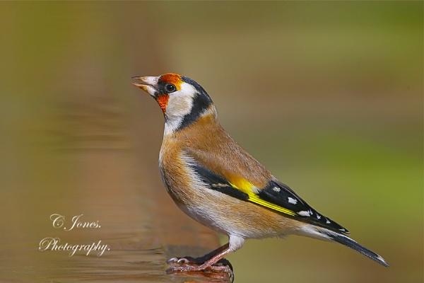Goldfinch. by cjones