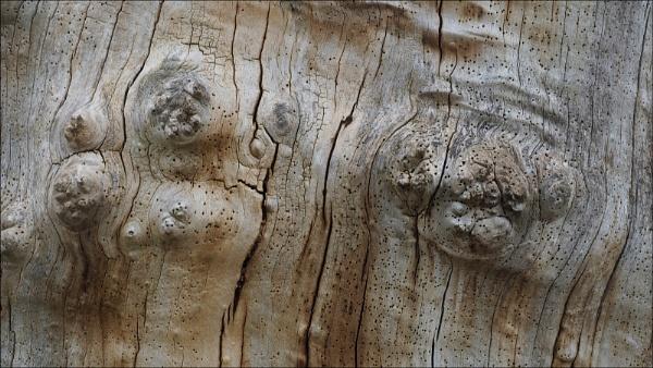 Gnarled Old Oak by fredsphotos