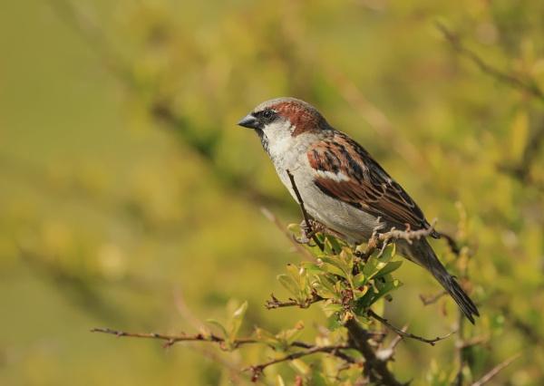 Sparrows by canoncarol