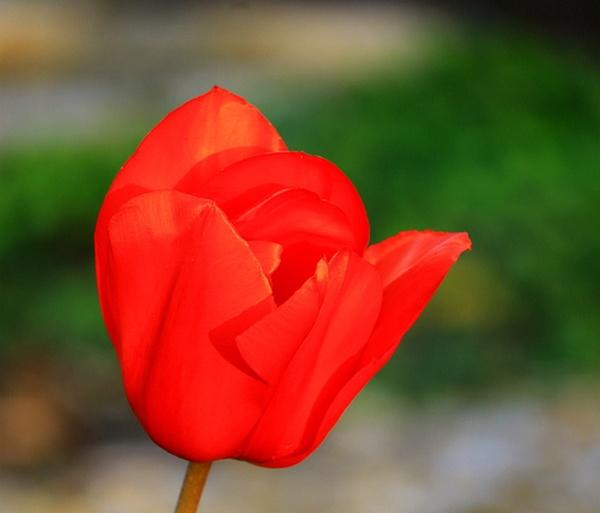 Oregon Tulip Festival. by Tonytee