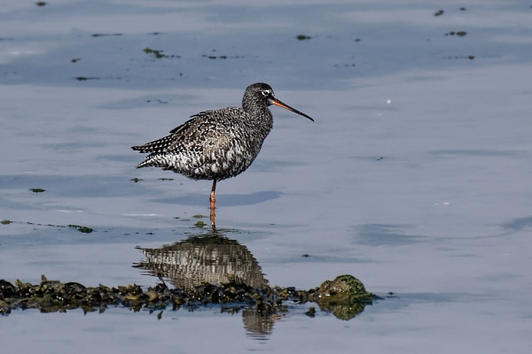 Spotted Redshank in it\'s breeding plumage. by simmo73