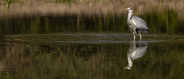 Heron Fishing by Janetdinah