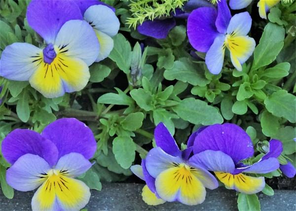 Viola tricolor by Kabrielle