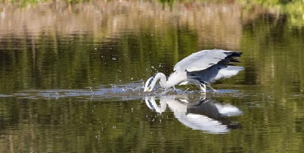 Gotcha - Heron Feeding by VincentChristopher