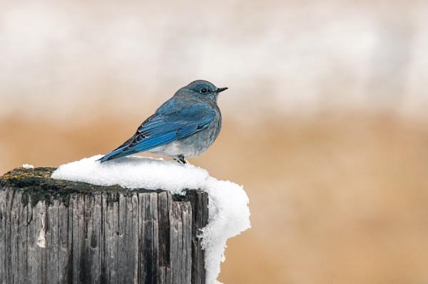 Bluebird by dven