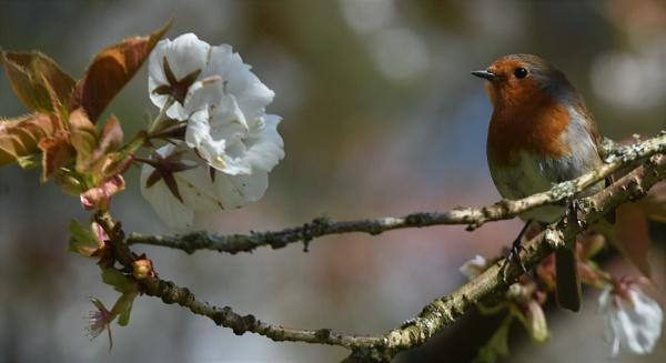 Robin posing in cherry blossom by nicholl