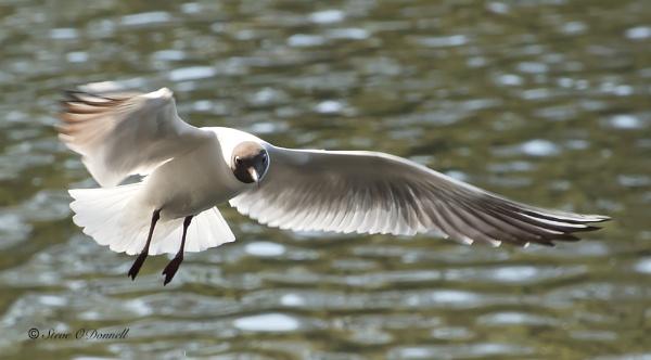 Black headed gull by steve120464