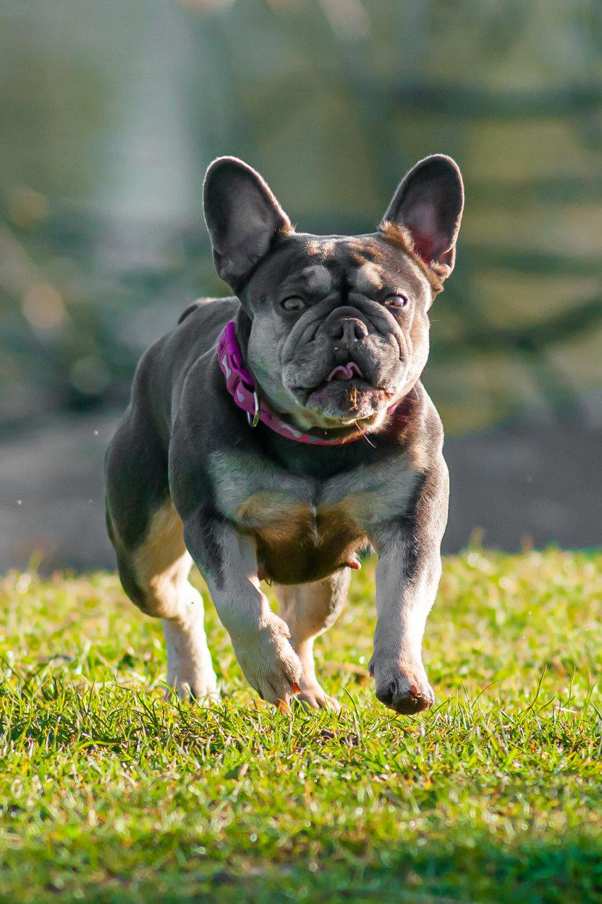 Ugly Pug.