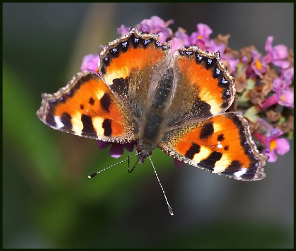 Small Tortoiseshell ... by Badgerfred