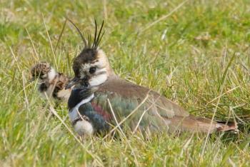 Nesting lapwing