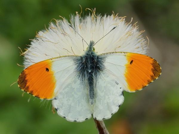 orange-tip by colin beeley