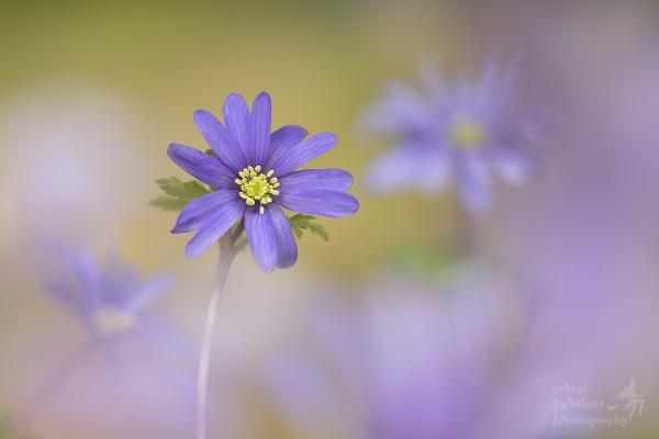 Anemone blanda by Angi_Wallace