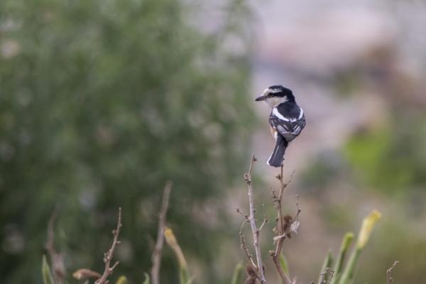 Masked Shrike by WorldInFocus