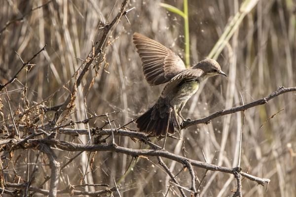 A female Nile Valley Sunbird by WorldInFocus