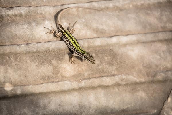 European Wall Lizard by rontear