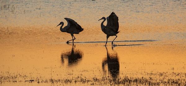 Dawn arrival Sandhill Cranes Bosque Del Apache by rontear
