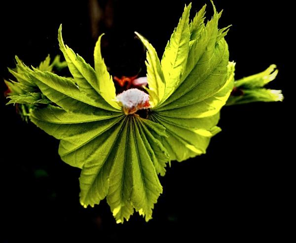 Angel Leaf by nclark