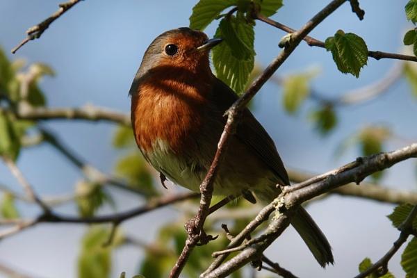 Early morning Robin. by cheddar-caveman