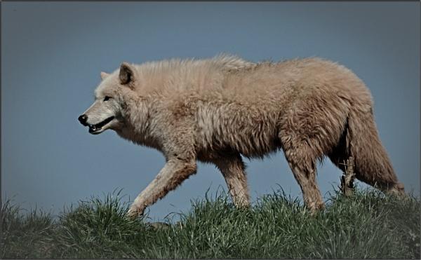 Arctic Wolf by PhilT2
