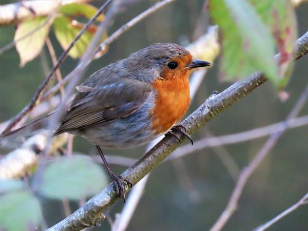 Evening Robin by JanOByrne