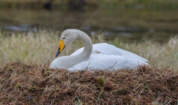 Swan. by Jukka