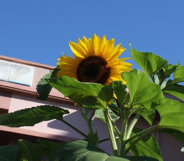 Sunflower by ddolfelin