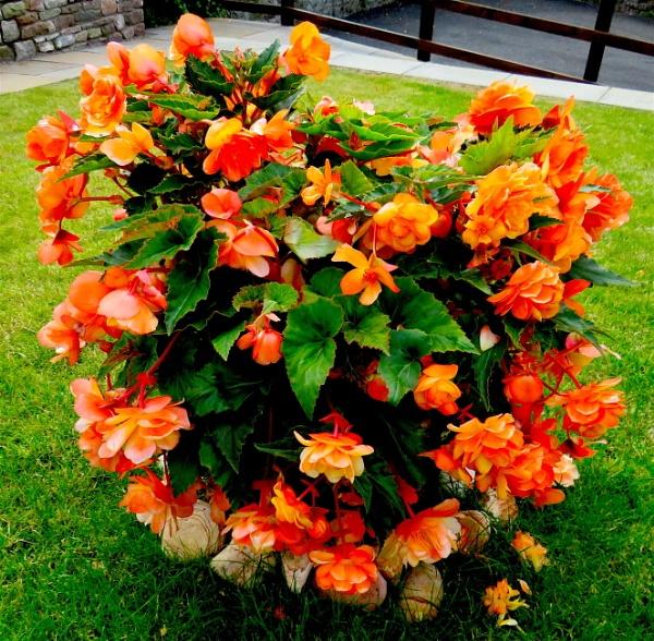 Begonias by ddolfelin