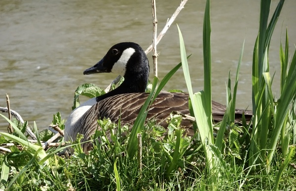 Nesting Canada Goose by dixy