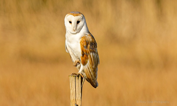 Perched Barn Owl by louie1st
