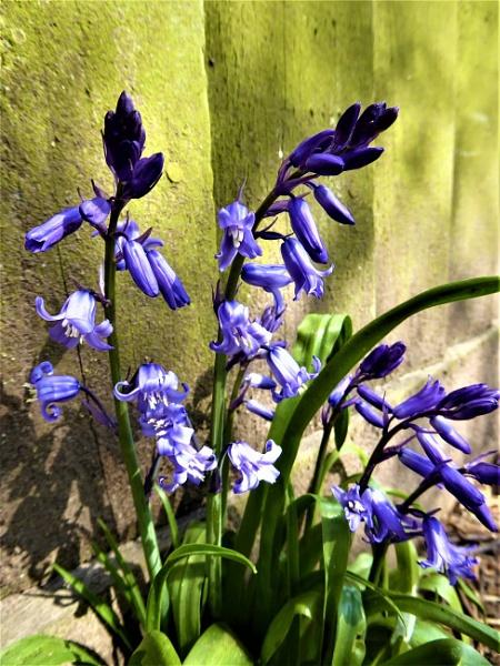 bluebells by jenny007
