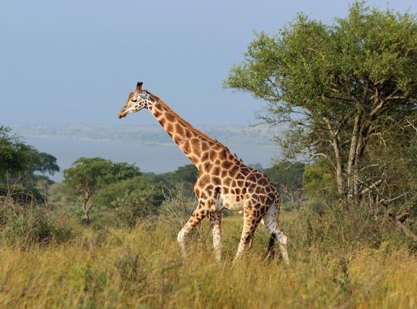 Rothschild\'s giraffe (Giraffa camelopardalis rothschildi) by Karuma1970