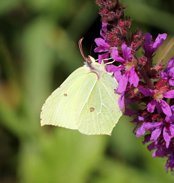 Brimstone Butterfly by Steveo28