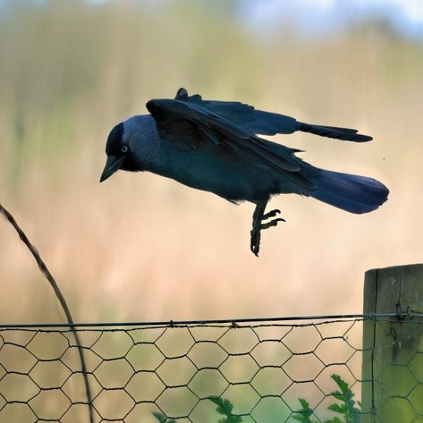 Jackdaw in flight2 by cmiller