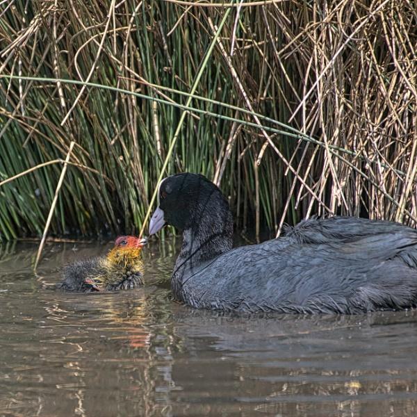 Moorhen feeding chick by cmiller