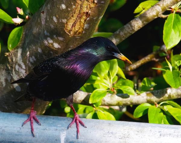 Starling by af1