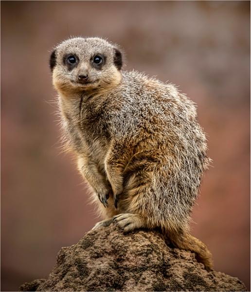 Meerkat by TheShaker
