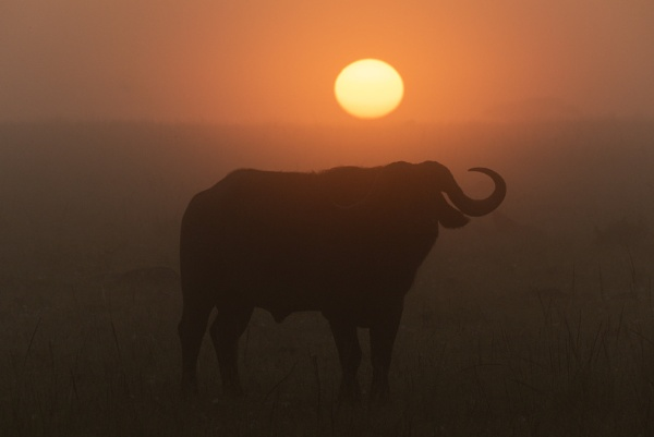 Buffalo Sunrise by NickDale