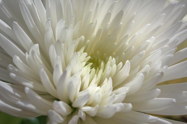 White Dahlia by Tigercomp