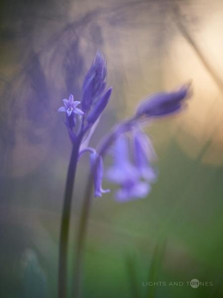 Bluebell Blossom by jarvasm