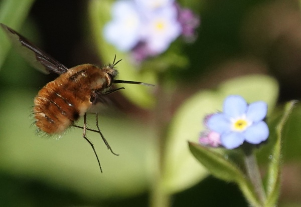 Bee fly by frogs123