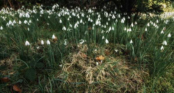 Dear, dainty little Snowdrops by BillRookery