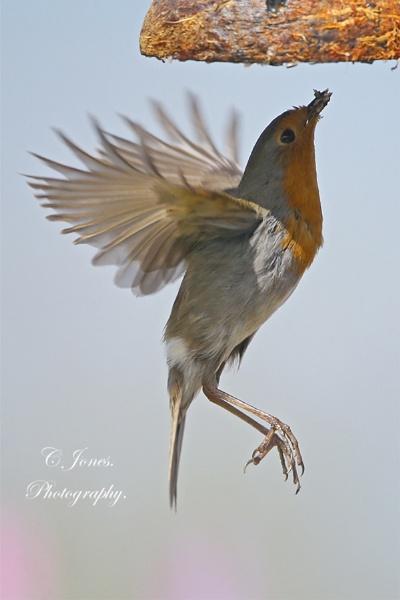 Hungry Robin. by cjones
