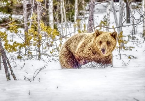 Bear in Viiksimo by hannukon