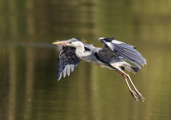 Heron in flight! by Jas2