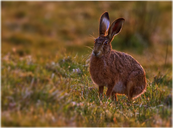 Backlit Brown hare by Jas2