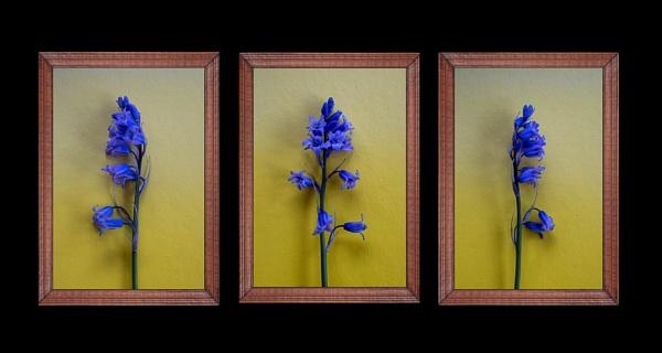 The Splendid Bluebell by Aveeno