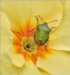 Green Shield Bug.