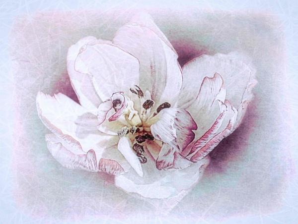 Tulipa Cartouche by adagio