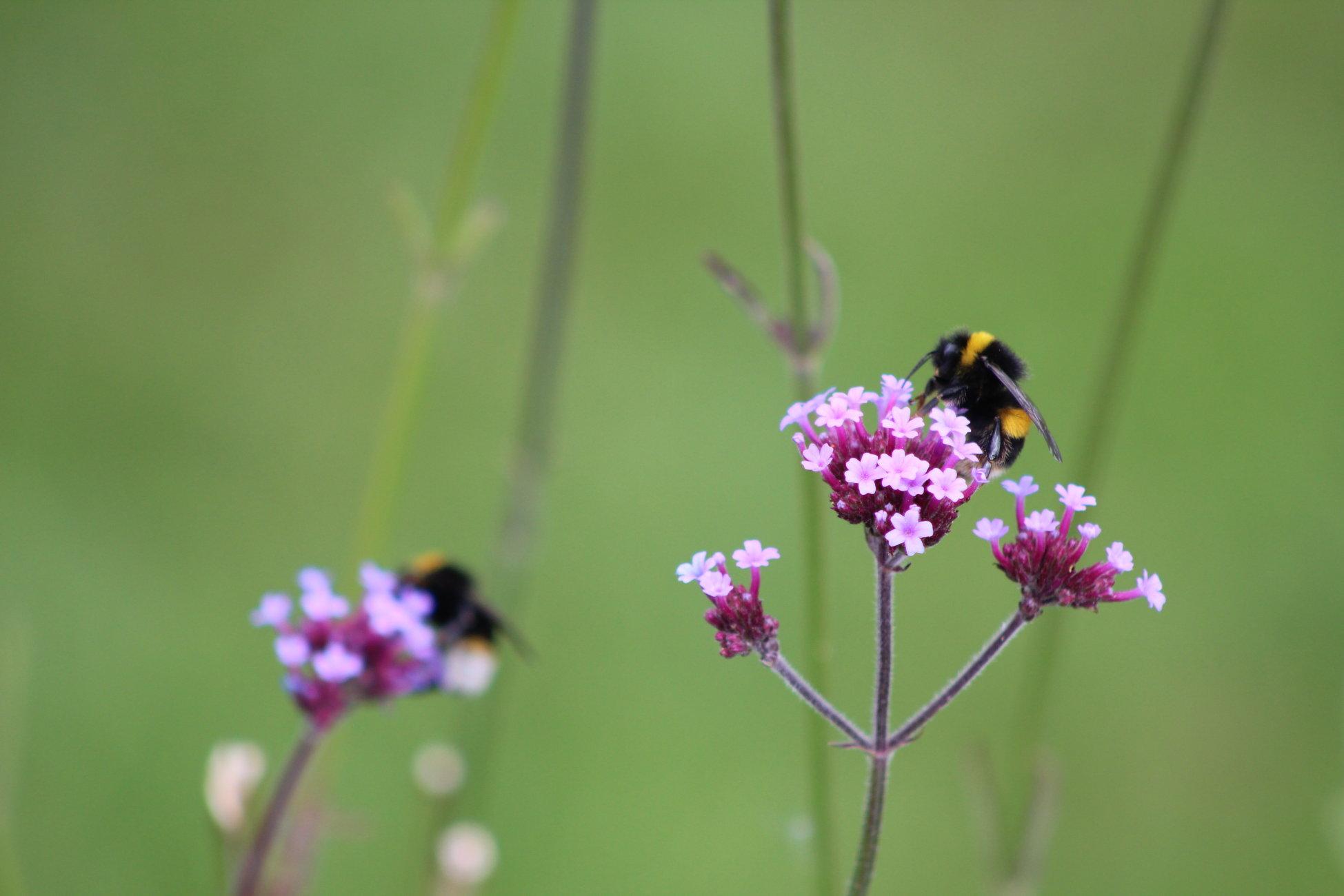 Bee on Flower July 2020