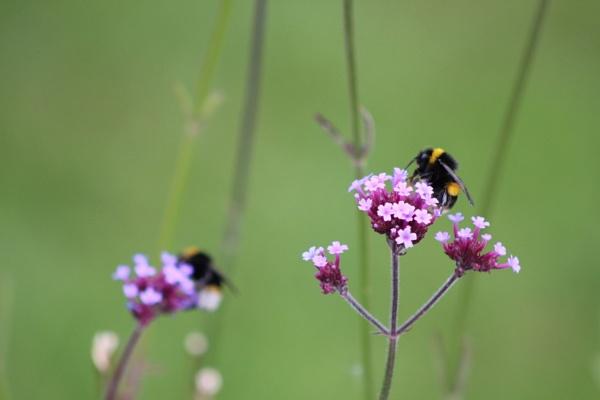 Bee on Flower July 2020 by topcatj
